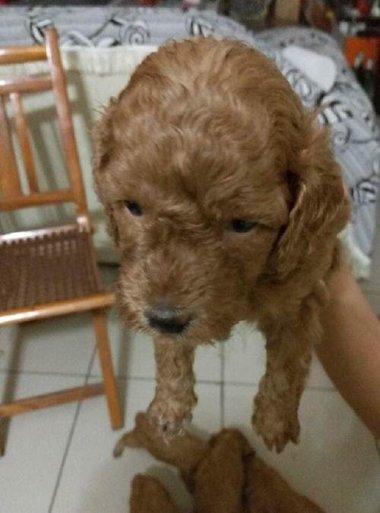 泰迪狗卷毛尖头剪发 乖巧可爱狗狗造型