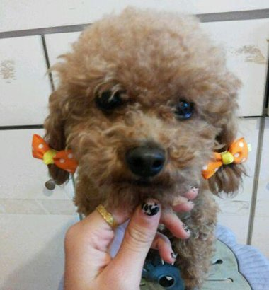 泰迪狗发型扎法 泰迪狗耳朵梳小辫发型