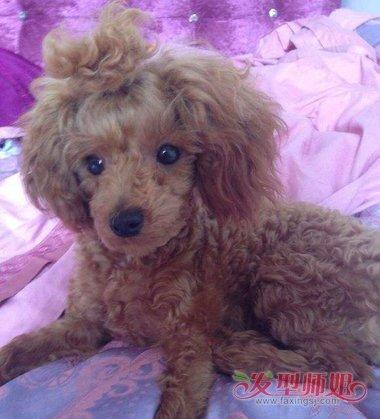 泰迪扎苹果头发型图片