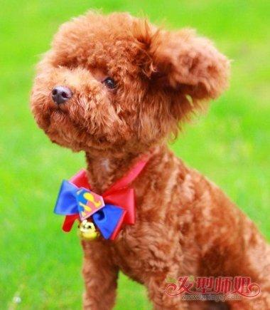 泰迪狗剪胎毛教程 泰迪剃胎毛后的图片-轻博客