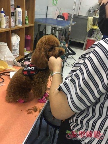 给泰迪狗修毛视频_怎样修剪泰迪眼睛的毛 自己给泰迪修剪毛教程(2)_发型师姐