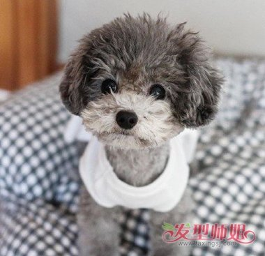 泰迪狗生下来多久卷毛 不卷毛的泰迪狗图片-轻博客