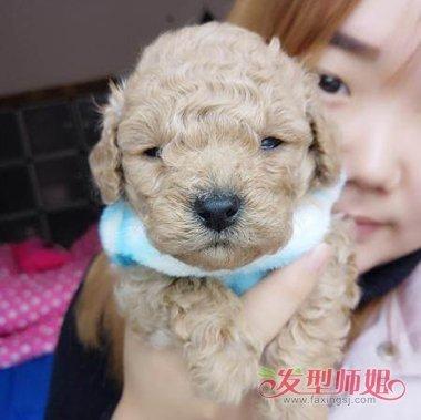泰迪狗生下来多久卷毛 不卷毛的泰迪狗图片