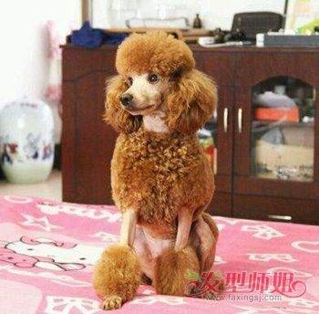 泰迪犬剪毛造型图片 泰迪犬夏天发型